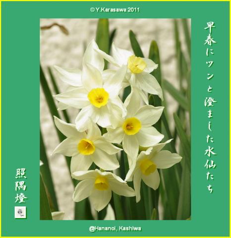110226日本水仙3