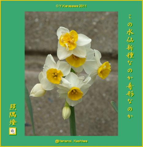 10227日本水仙4