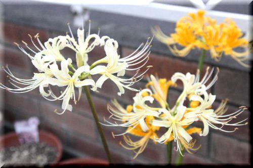 白と黄色の彼岸花♪