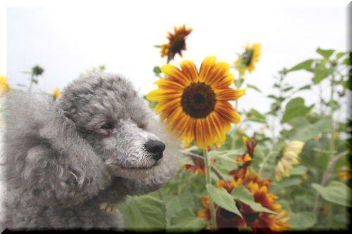 空と向日葵♪