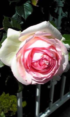 薔薇2011.5.27 1