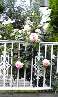 薔薇 2011 2