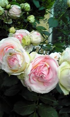 薔薇 雨の中