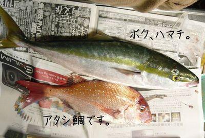 ハマチ鯛2