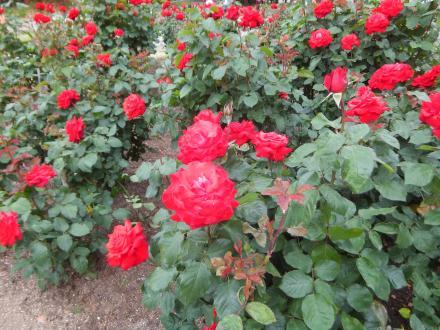 2012.5.20 Rose Garden