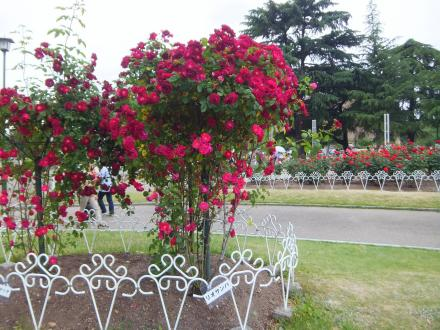 2012.5.20.rose garden2