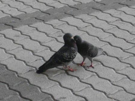 インテックスの鳩カップル