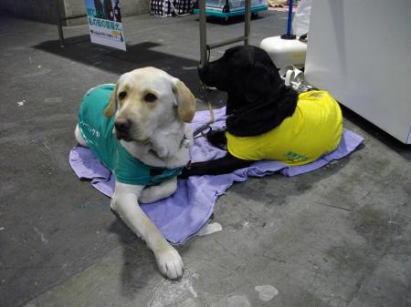 盲導犬キャンペーン犬