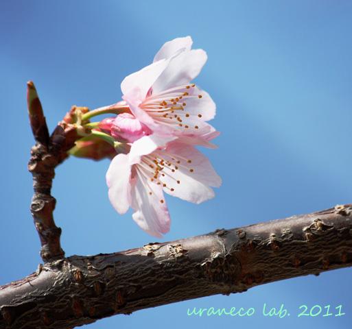 3月11日寒桜6