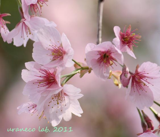 3月11日寒桜9