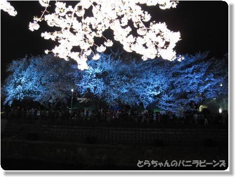 桜ライトアップ6