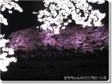 桜ライトアップ5