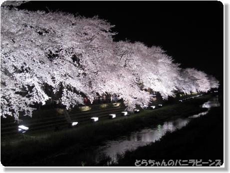 桜ライトアップ4