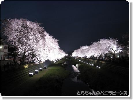 桜ライトアップ1
