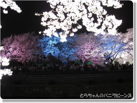 桜ライトアップ7
