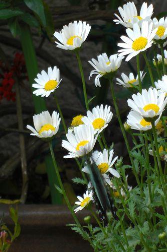 [アオスジアゲハ]花から 花へとまれよ 遊べ遊べよ とまれ
