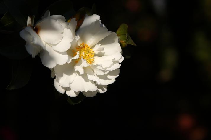 20111225山茶花2a