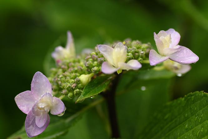 都筑民家園の紫陽花1a