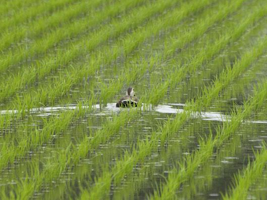 karugamo_20110605121234.jpg