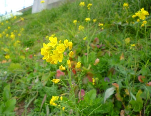 2013.11菜の花