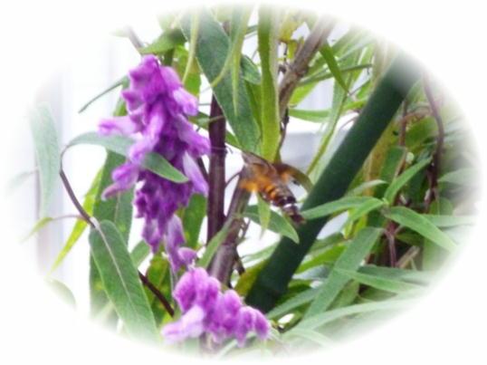 ハチドリ1