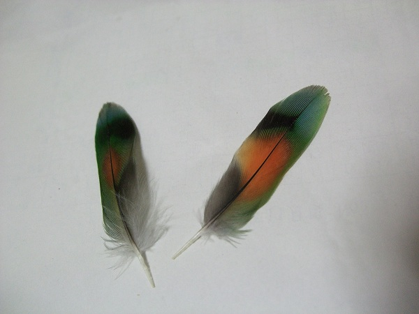 きれいな尾羽根