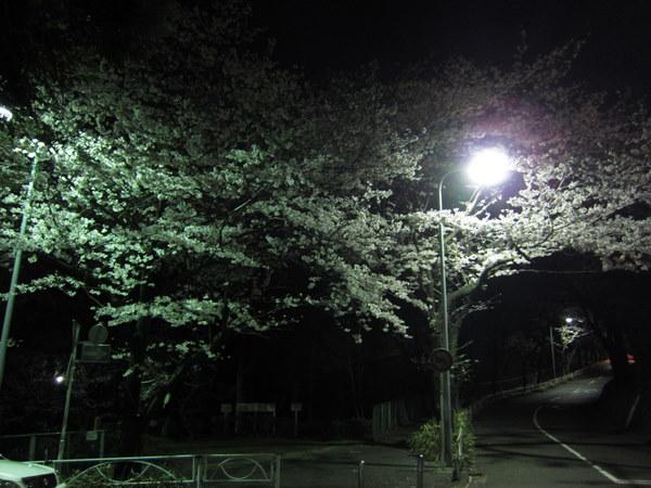 近くの公園の夜桜1