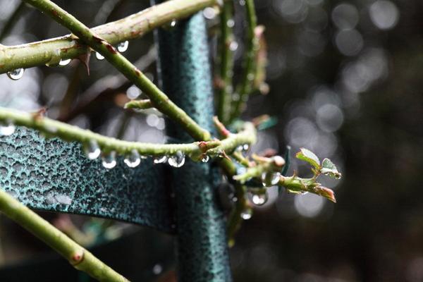 冷たい雨に濡れるつるアイスバーグの新芽