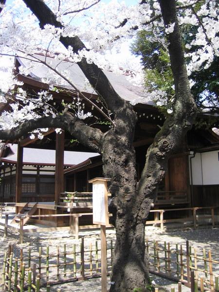 ソメイヨシノ標本木1