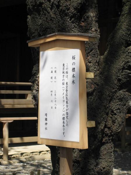 ソメイヨシノ標本木2