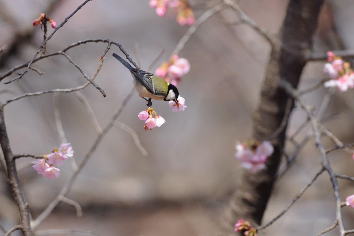 DSC_2234-武蔵野公園寒緋桜シジュウカラⅠ-B