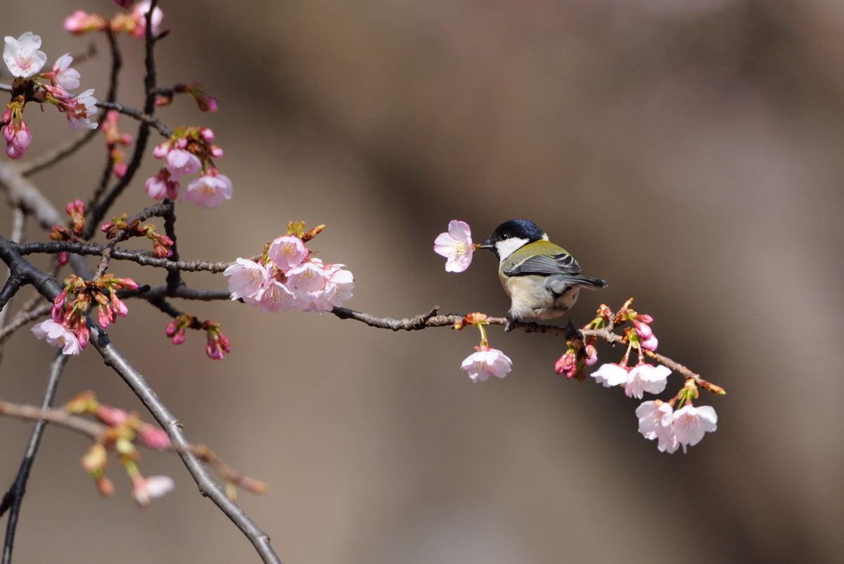 DSC_2266-武蔵野大寒緋桜とシジュウカラⅠ-B