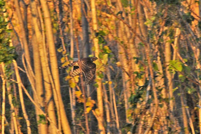 雑木林のオオタカ