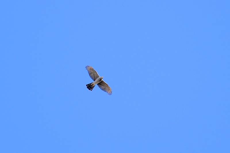 ハイタカ飛翔2