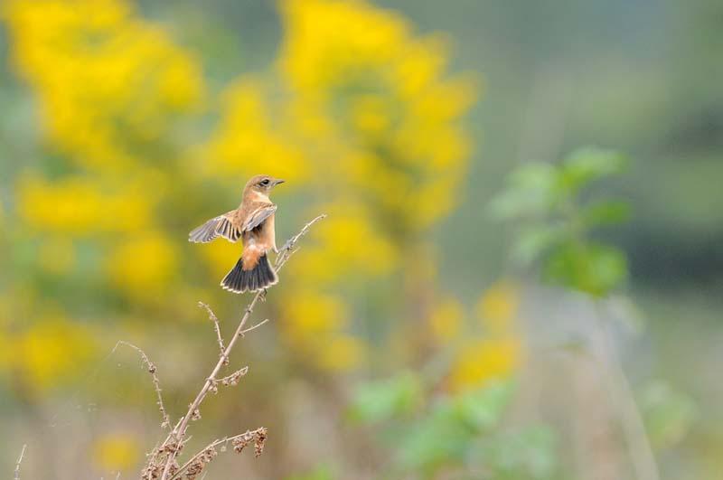 ノビタキの羽ばたき