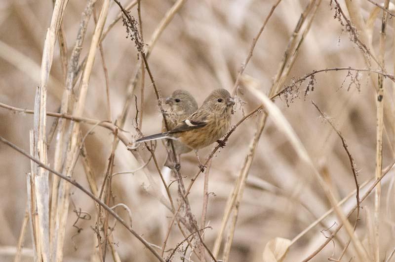 ベニマシコ♀2羽