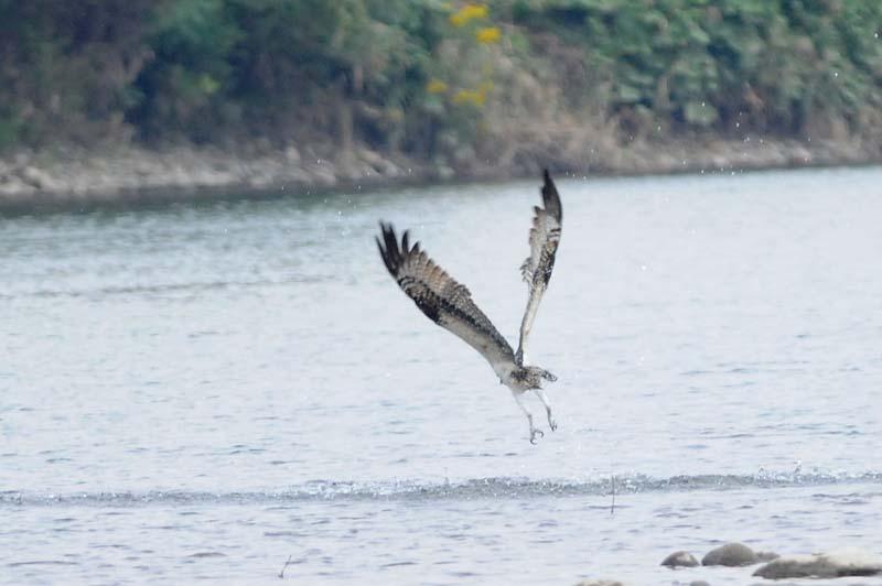 ミサゴ水中からの飛び出し