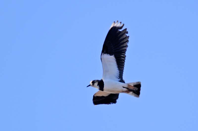 タゲリ飛翔1
