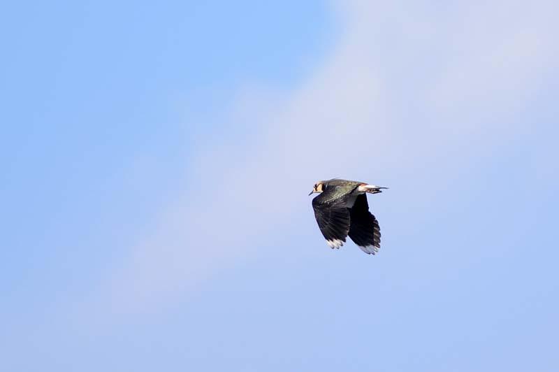 タゲリ飛翔2