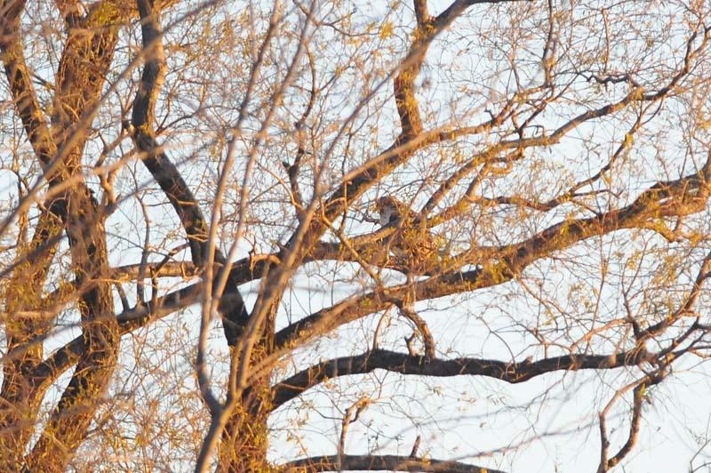 枝被りオオタカ