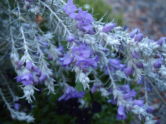 エレモフィラの花