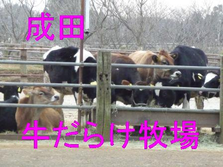 成田牛だらけ牧場