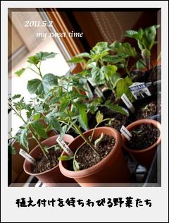 植付けを待ちわびる夏野菜苗たち