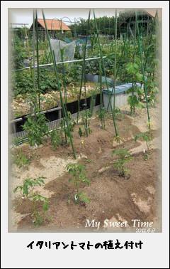 イタリアントマトの植え付け