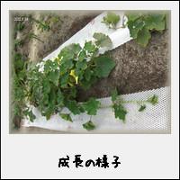 夏野菜の成長の様子