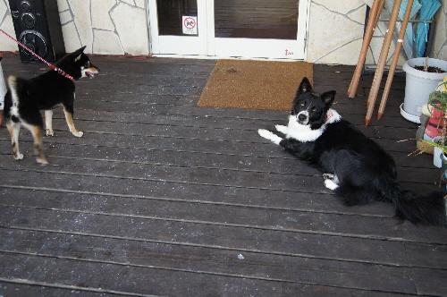 看板犬のボーダーコリー