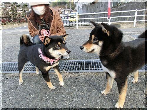 11.03.12 熊野の黒柴ももちゃん 001