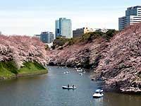 桜さくらサクラ2009