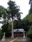 鹿嶋神社スギ