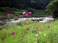 入遠野川とコスモス